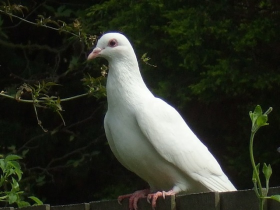 lovely white dove