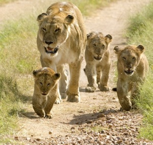 lion and cubs2