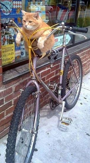 funny cat on bicycle