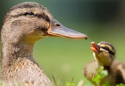 cute-duck-pictures-41