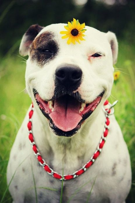 adorable pitbull