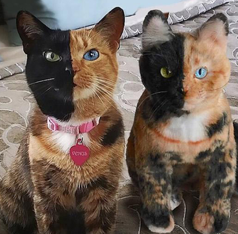 cat twin
