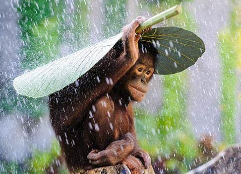 orangutan_leaf_shelter1