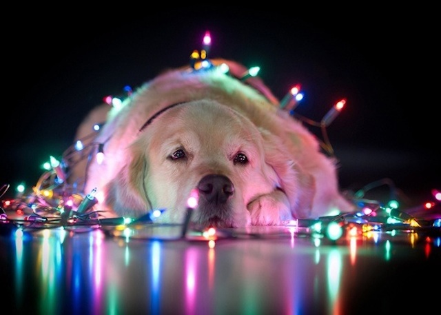 cute dog with christmas lights