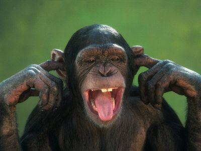 funny chimp