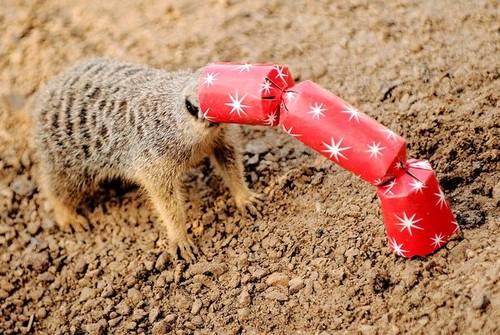 funny meerkat