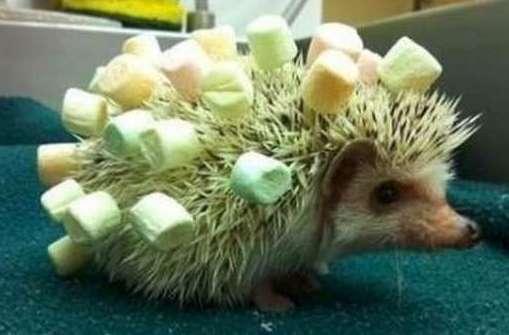 funny porcupine