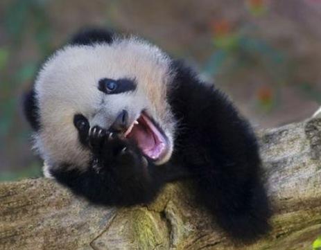 happy baby panda