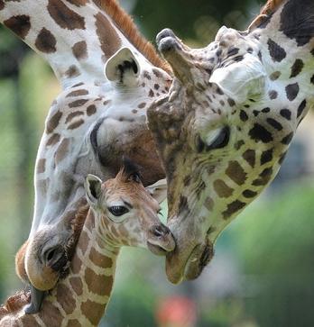 happy giraffe family