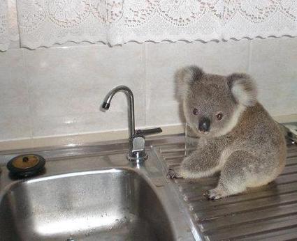 Koala-on-sink