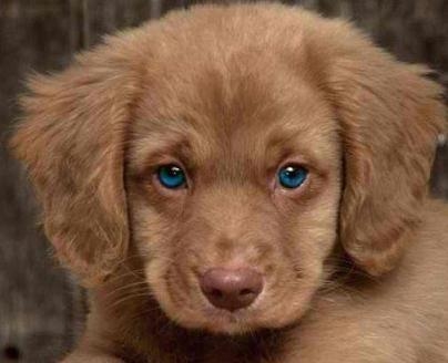 beautiful retriever puppy