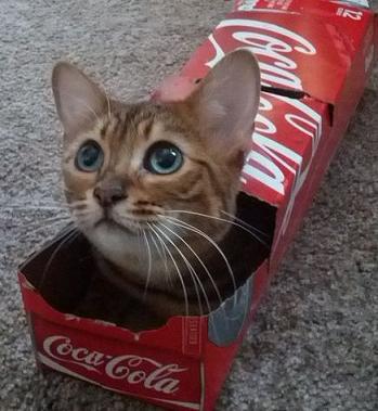 cat in coke box