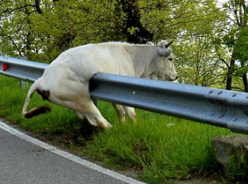 cow stucked