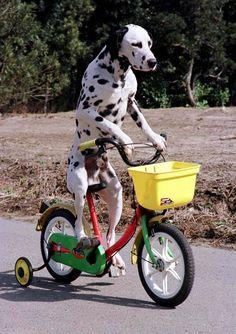 dalmation on bike