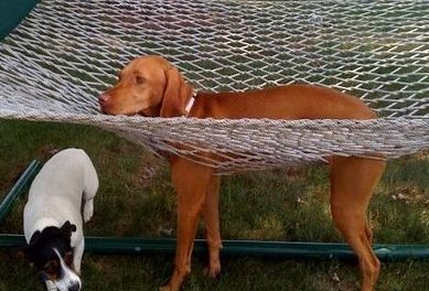 funny-dog-stuck-hammock-uh-oh-pics