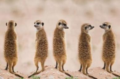 Meerkat in a row, Kalahari Desert