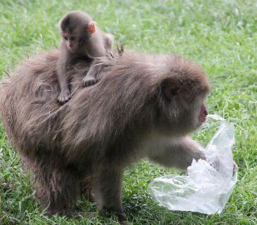 monkey with plastic