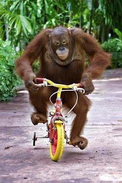 orang utan on bike