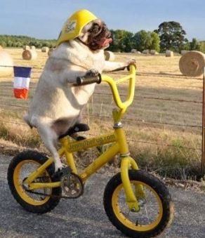pug on bike