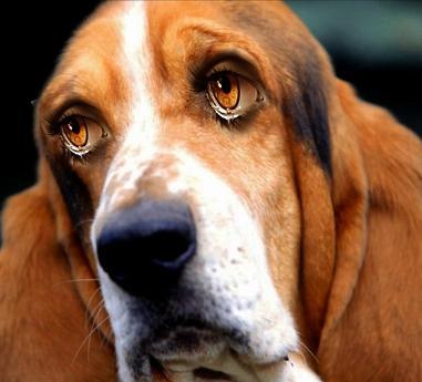 Sad-Eyed-Bassett-Hound--57648