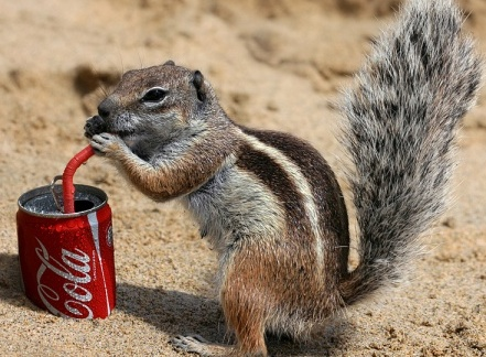 squirrel drinking coke.jpg