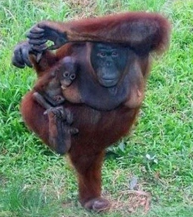 yoga orang utan