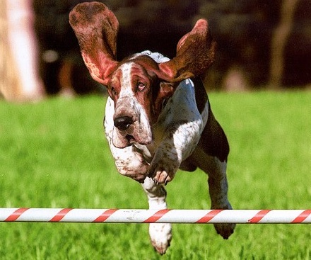 basset hound leaping