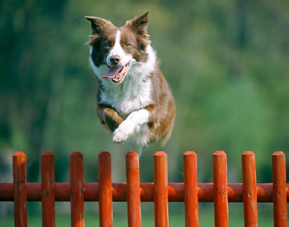 collie leaping