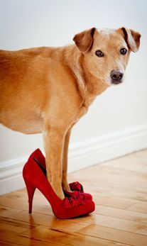 dog on red heels