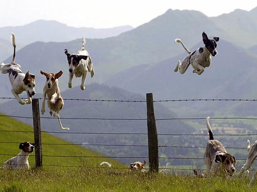 dogs jumping over fence
