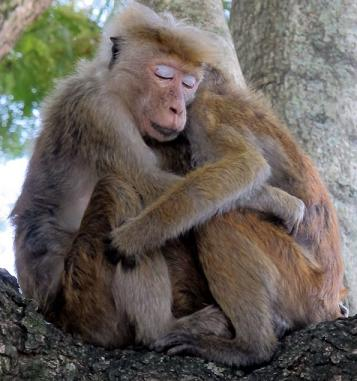 funny monkey embracing