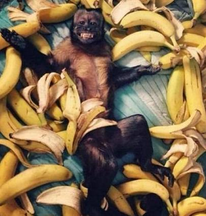 funny monkey with bananas