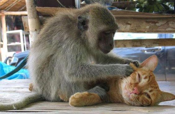 monkey cleaning cat