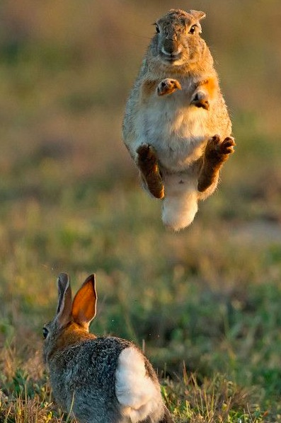 rabbit leaping