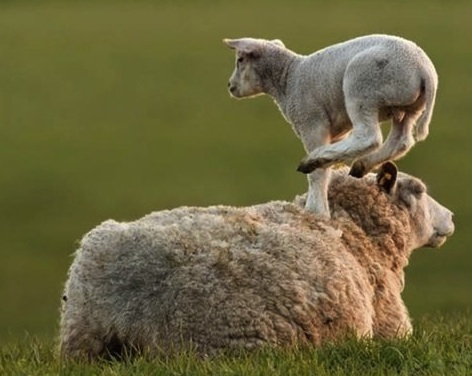 sheep leaping