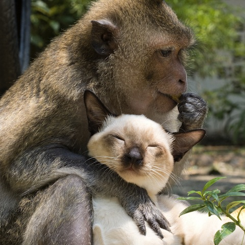 siamese cat and monkey