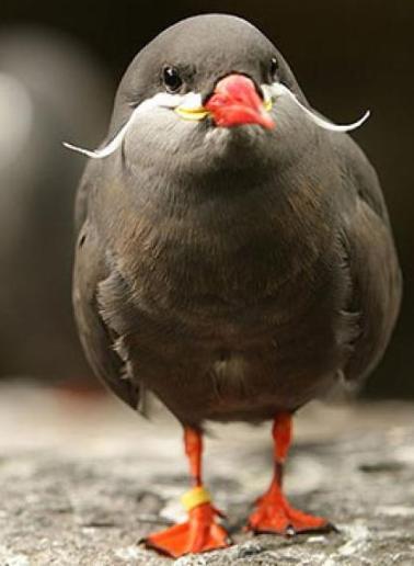 bird with mustache