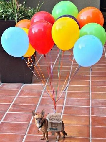chihuahua and balloons