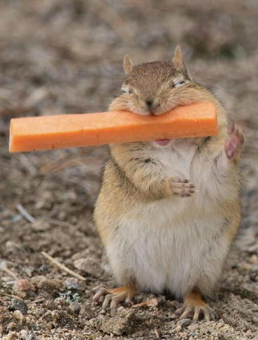 chipmunk with carrot