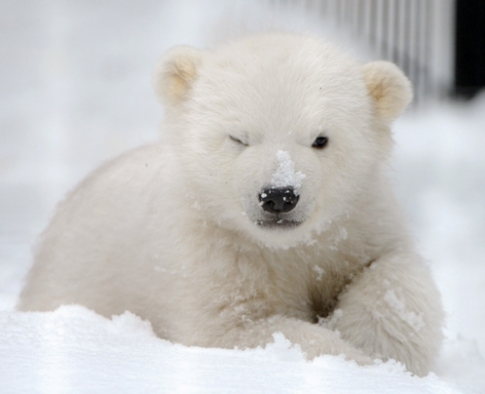 cute polar bear angry