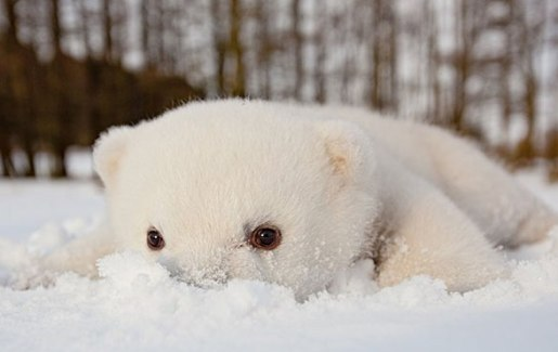 cute polar bear in the snow