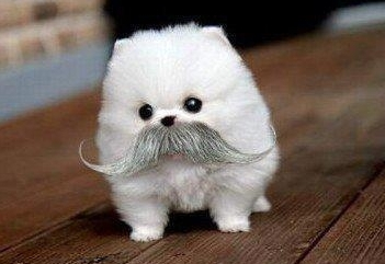 cute pommie with mustache