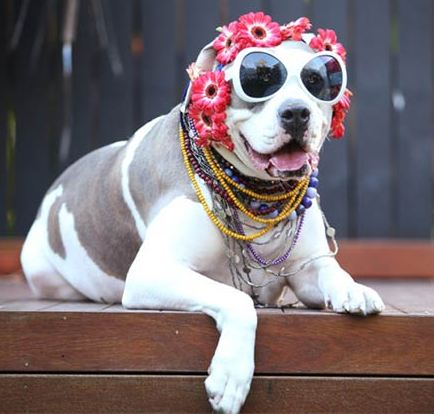 fashion_dog1
