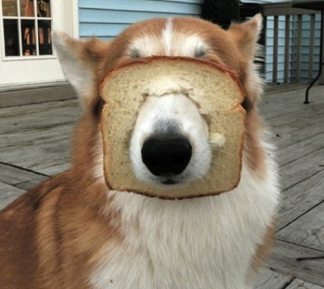 funny dog with bread