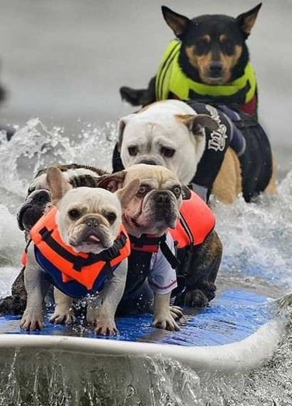 funny dogs surfing