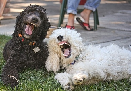 funny poodles laughing