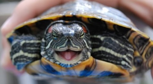 laughing-turtle