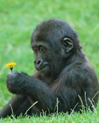 little gorilla holding a little flower.jpg