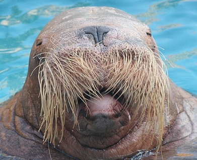sealion with mustache