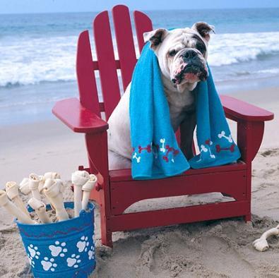 bulldog at the beach